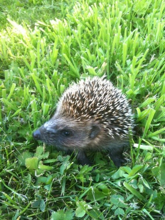Surprise un petit h risson dans mon jardin for Herisson dans mon jardin